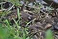 2018-05-27 Ducklings Nahe River BME RP WiTi 34.jpg
