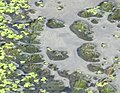 20180820Lemna minor1.jpg