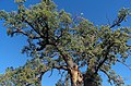 2018 Oak from Cajvana RO.jpg