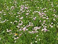 2019-06-21 (103) Securigera varia (crownvetch) at Bichlhäusl, Tiefgrabenrotte, Frankenfels, Austria.jpg