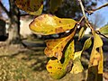 2019-11-26 11 38 22 Water Oak leaves turning yellow in late autumn along White Barn Lane in the Franklin Farm section of Oak Hill, Fairfax County, Virginia.jpg