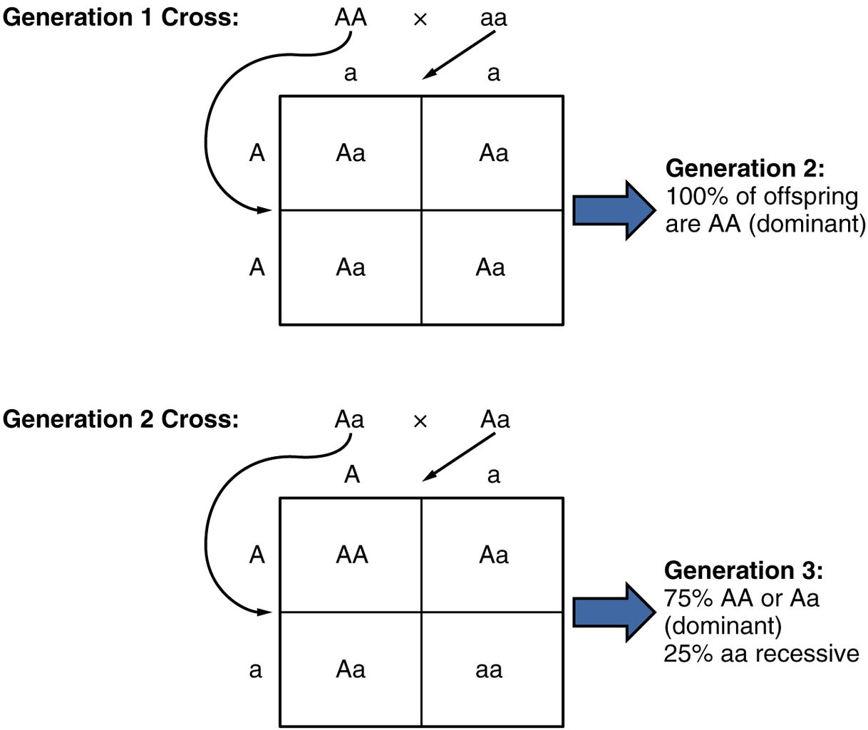 a construction of a punnett square to follow a mutation This is an observable trait of an organism that can mask this is a genetic mutation caused by the insertion or deletion of one or more nucleotides genotypes and phenotypes, of offspring from two parents this is usually shown using a punnett square genetic disorders these are.