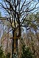 300-річний дуб на місці поховання жертв воєн 1914-1918 років с. Лелехівка.jpg