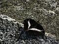347紫單帶蛺蝶1(葉錫根攝) (12944722743).jpg
