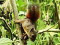 3 Especie de ardilla (Sciurus), Henri Pittier, Venezuela 3.jpg