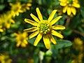 4240 - Thun - Obere Schleuse - Asteraceae.JPG