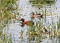 4560 cinnamon teal pair munsel odfw (4438169987).jpg