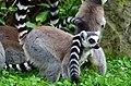 50 Jahre Knie's Kinderzoo Rapperswil - Lemur catta 2012-10-03 15-31-33.JPG
