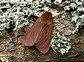 72.024 BF2064 Ruby Tiger, Phragmatobia fuliginosa (3122470689).jpg