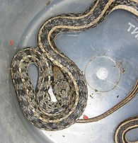 AB020 buff striped keelback 3.jpg