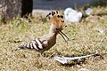 "A Happy Common Hoopoe. Bengali name ""মোহনচুড়া- হুদহুদ"" (14415463678).jpg"