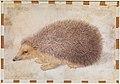 A Hedgehog (Erinaceus roumanicus) MET DP120747.jpg
