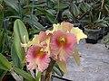 A and B Larsen orchids - Brassolaeliocattleya Ports of Paradise GGG x Brassolaeliocattleya Hemlock Pass DSCN4521.JPG