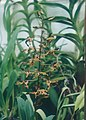 A and B Larsen orchids - Dendrobium Mini Brown 797-23.jpg