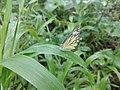 A beautiful Butterfly.jpg
