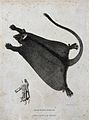 A black flying opossum and a skeletal detail of its claw. Et Wellcome V0022859EL.jpg