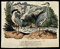 A crested boatbill (Cancroma cochlearia) and common heron (A Wellcome V0022189.jpg