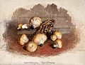 A group of puff balls (Lycoperdon perlatum) and bracket fung Wellcome V0043398.jpg