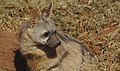 Aardwolf, Proteles cristata, at Lion and Rhino Reserve, Gauteng, South Africa (47987208833).jpg