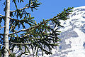 Abies procera foliage Rainier.jpg