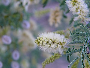 Catclaw Acacia (Acacia greggii) flower) taken ...
