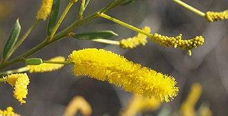 Acacia lysiphloia - Acacia lysiphloia flowers