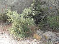 Acacia ulicifolia 1