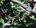 Acanthosaura capra, Zoo Prague 3.jpg