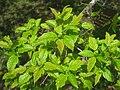 Acer tataricum, Arnold Arboretum - IMG 5924.jpg