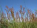 Acetosella vulgaris plant10 Canberra (15554674482).jpg