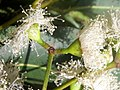 Acmenoides flower Eastwood.JPG