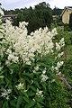 Aconogonon × fennicum 3.jpg