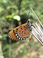 Acraea violae - Tawny Coster butterfly at Mayyil 2018 (8).jpg