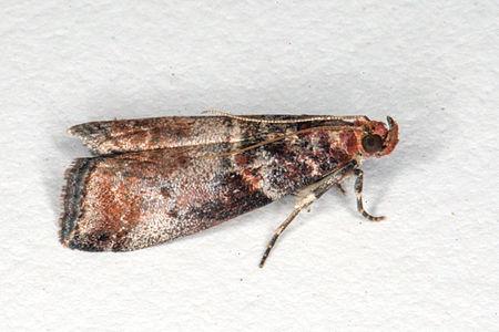 Acrobasis advenella02, Lodz(Poland)(js).jpg