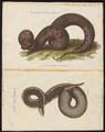 Acrochordus javanicus - 1700-1880 - Print - Iconographia Zoologica - Special Collections University of Amsterdam - UBA01 IZ11900007.tif