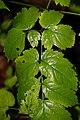Actaea racemosa 1zz.jpg