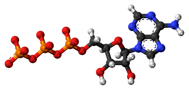 Model of an ATP molecule. Carbon atoms are black, hydrogen white, nitrogen blue, oxygen red, and phosphorus yellow.
