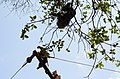 Adult lion-tailed macaque looking at the electrocuted infant in Valparai DSC 2519.jpg