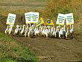 Advocacy ducks picketing.jpg