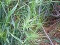 Aegilops geniculata Enfoque 2010-5-08 DehesaBoyaldePuertollano.jpg