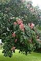 Aesculus × carnea kz1.jpg