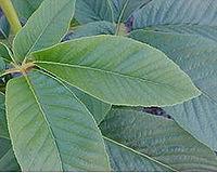 Aesculus californica.jpg