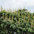 Aesculus parviflora-IMG 5980.jpg