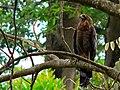 African Harrier Hawk (Polyboroides typus) juvenile (7692074826).jpg