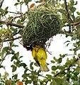 African Masked Weaver - Zambezi Valley Zambia -1.jpg