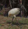 African Sacred Ibis (5065787828).jpg
