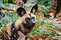 African Wild Dog (30943157842).jpg