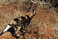 African Wilddog.jpg