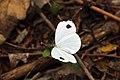 African Wood White flip flop (Leptosia alcesta inalcesta).jpg