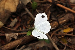 <i>Leptosia alcesta</i> species of insect